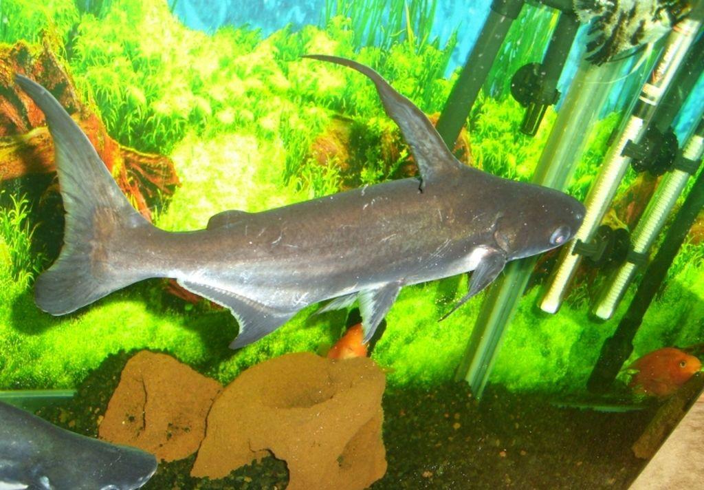 Для содержания акульего сома необходим аквариум от 400 литров