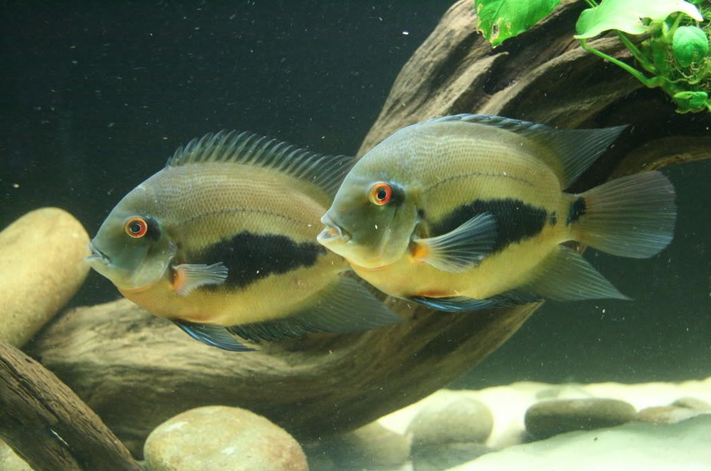 Рыбка Уару