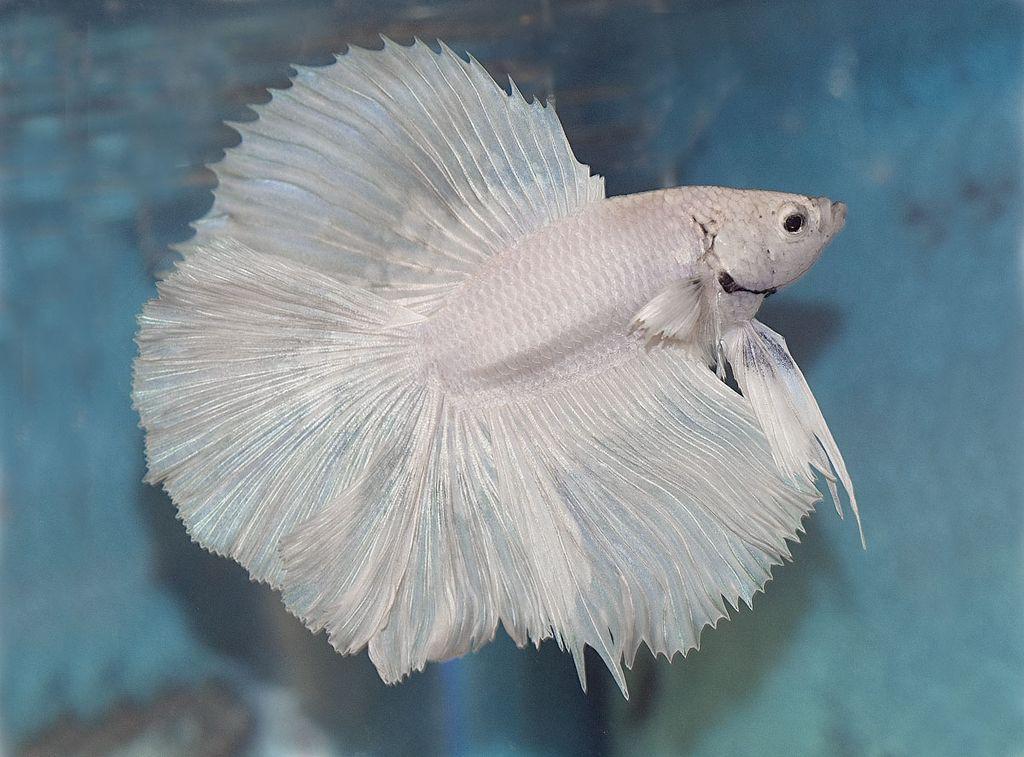 Белый петушок