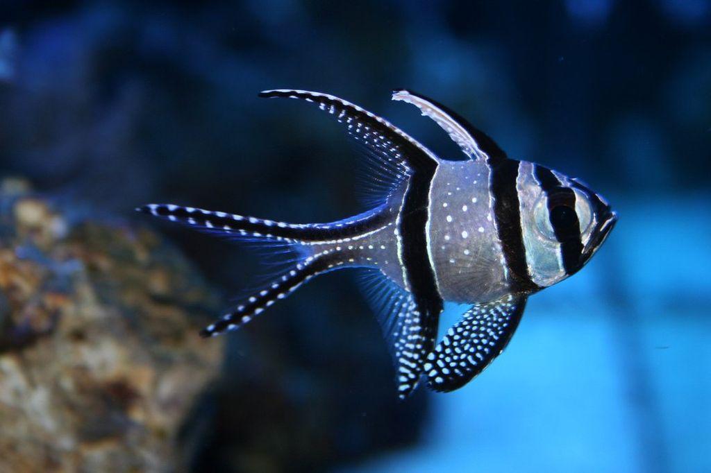 Рыбка кардинал - представитель карповых