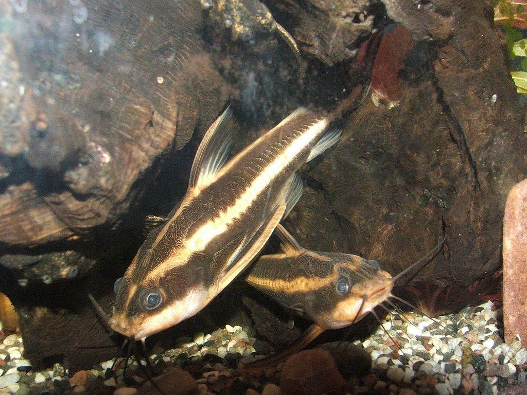 аквариумной рыбки фото полосатой