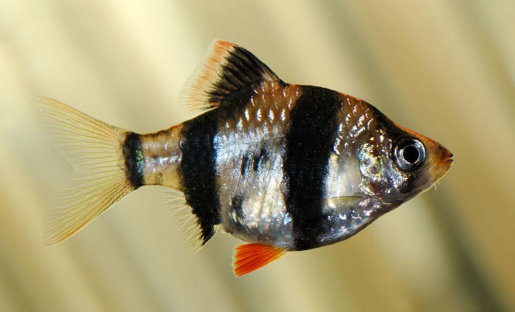 Суматранский