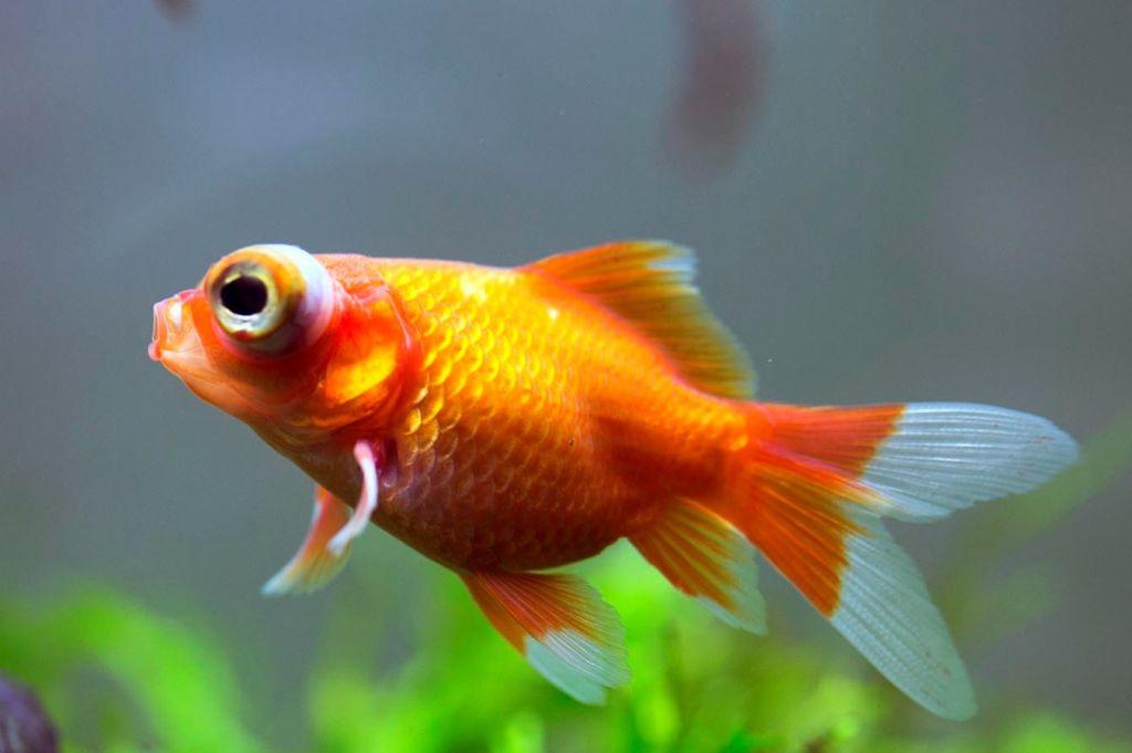 Золотая аквариумная рыбка