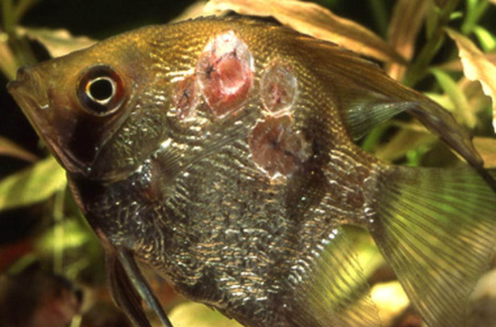 Правильное лечение болезней аквариумных рыб в домашних условиях