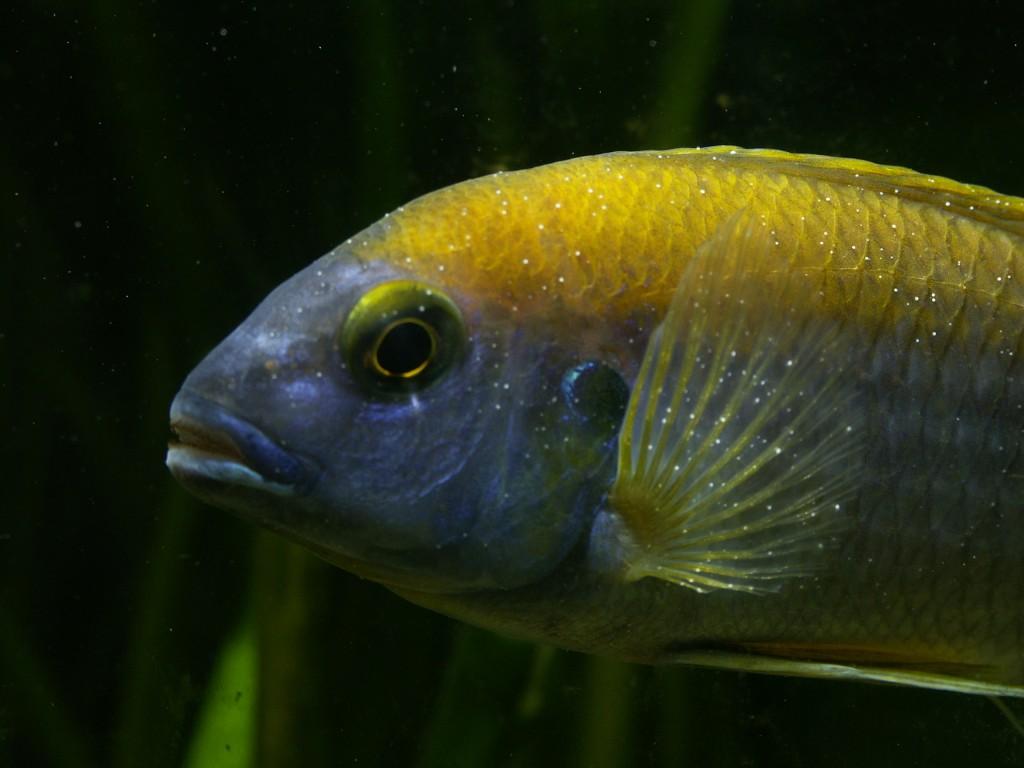 При алкалозе окраска рыбки тускнеет