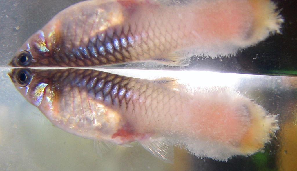 При колумнариозе вокруг тела или рта рыбы образуется белая вата