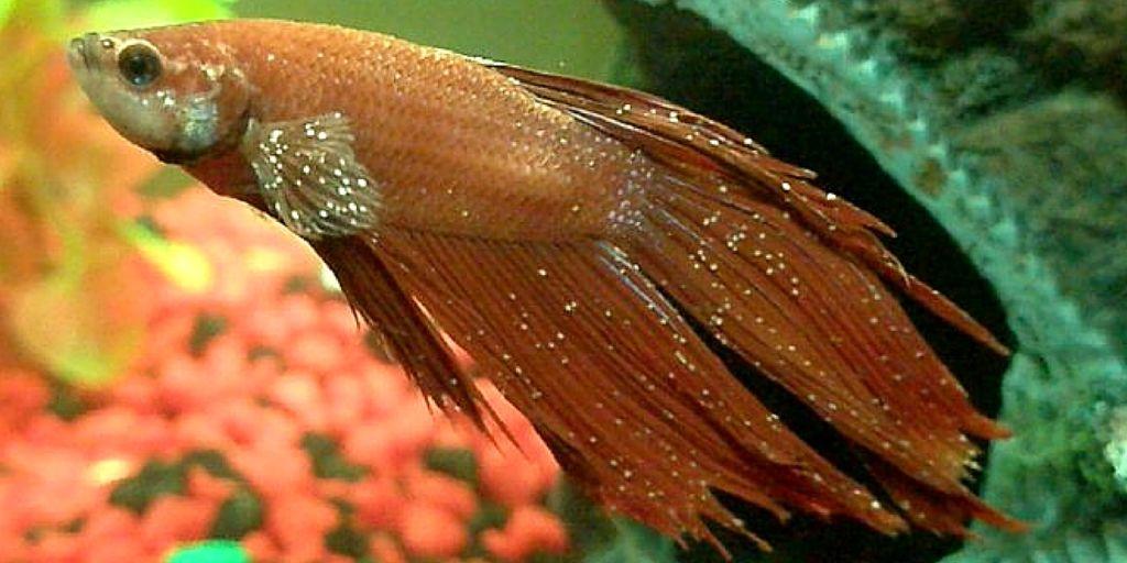 При газовой эмболии пузырьки воздуха появляются на стенках аквариума, растениях и самой рыбе