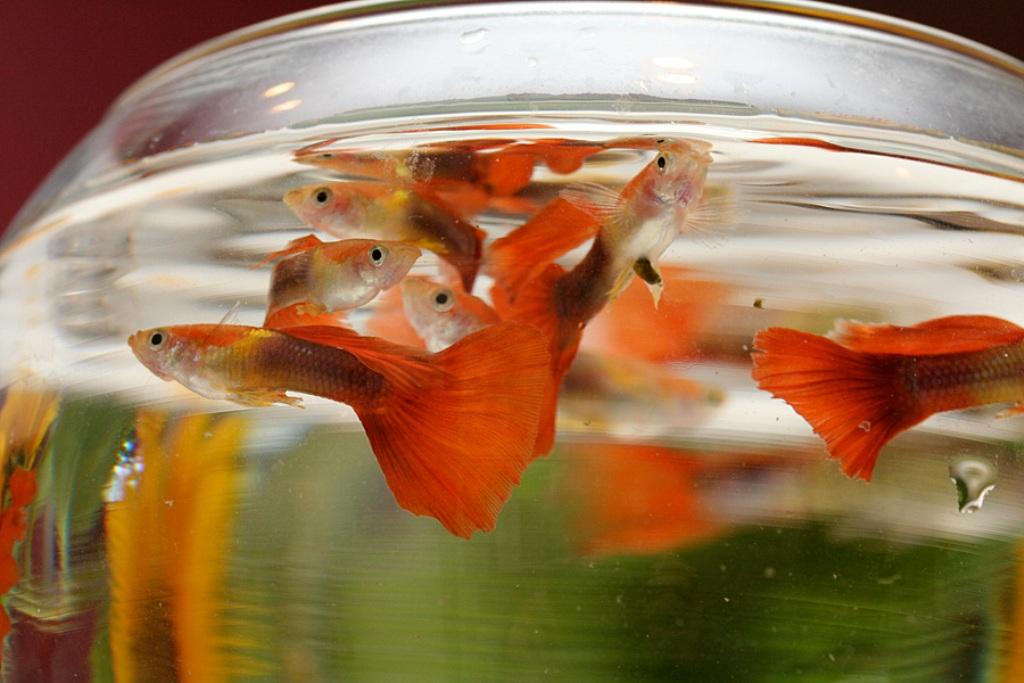 При аммиачном отравлении рыбы держатся на поверхности воды