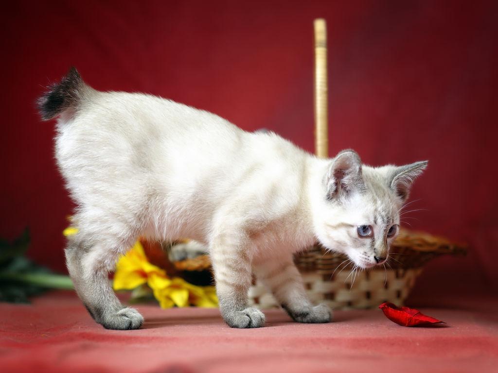 Описание и характеристика породы кошек меконгский бобтейл
