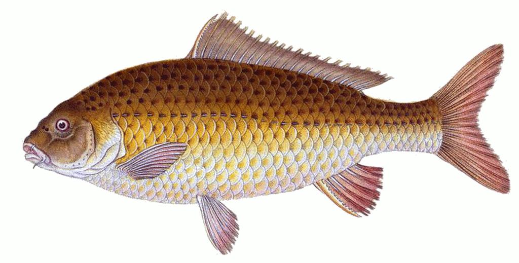 Карп - рыба больших размеров