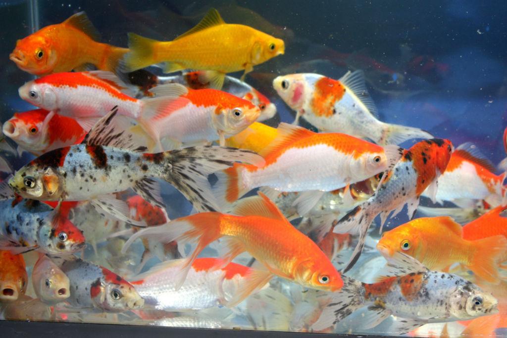 Рыб нельзя перекармливать