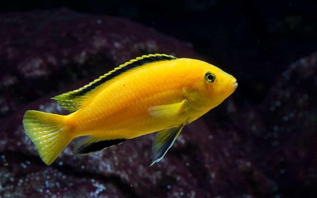 Для рыбки характерна вытянутая форма и яркая окраска