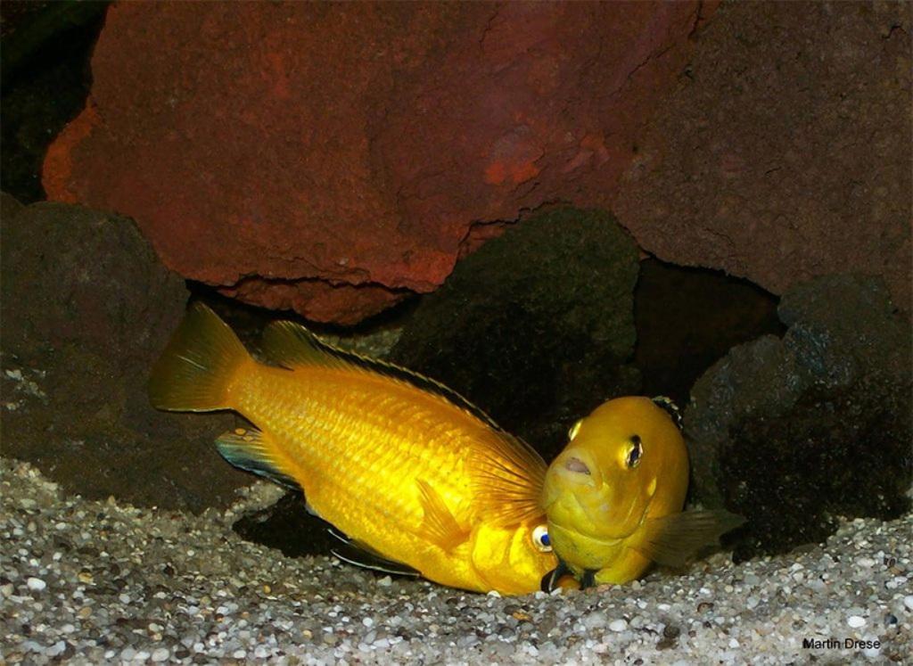 Самец желтой цихлиды подготавливает место для нереста самки