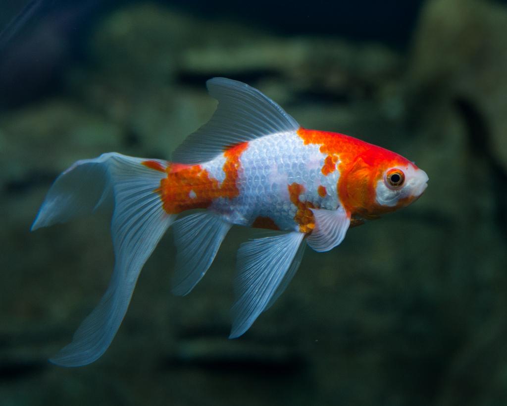 Правила содержания золотой рыбы кометы в аквариуме