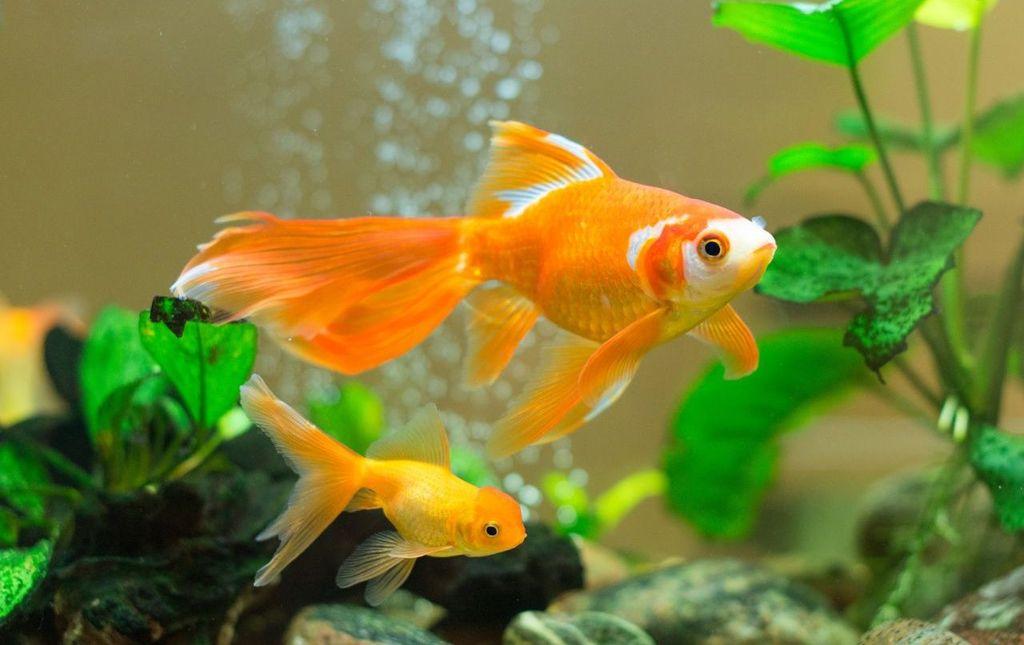 Золотых рыбок можно поселять только вместе с карповыми