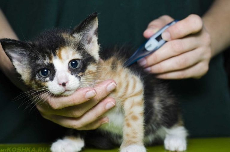 Фуросемид для кошек