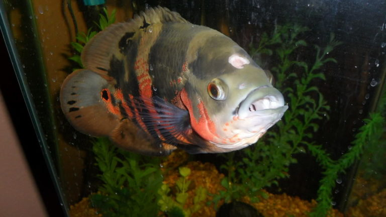гексамитоз у рыб