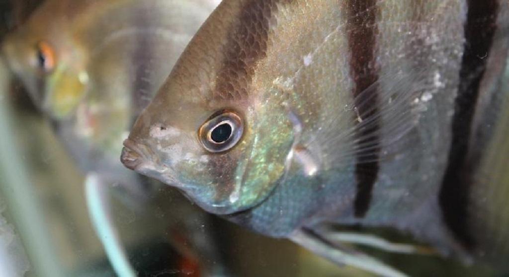 гексамитоз у рыб лечение