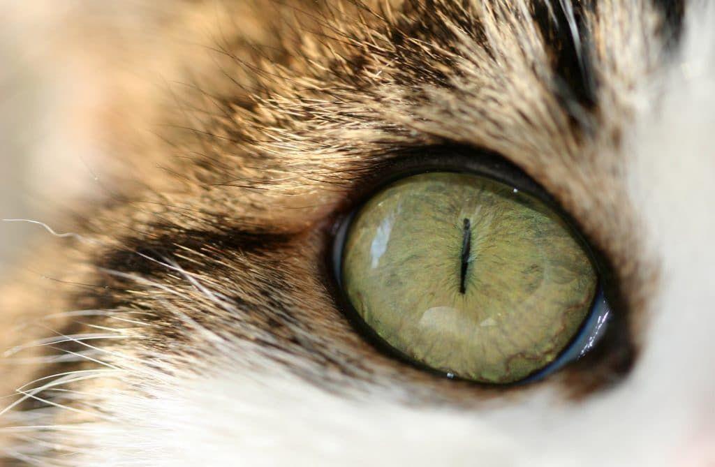 Капли действуют против отеков и воспалений глаз кошек