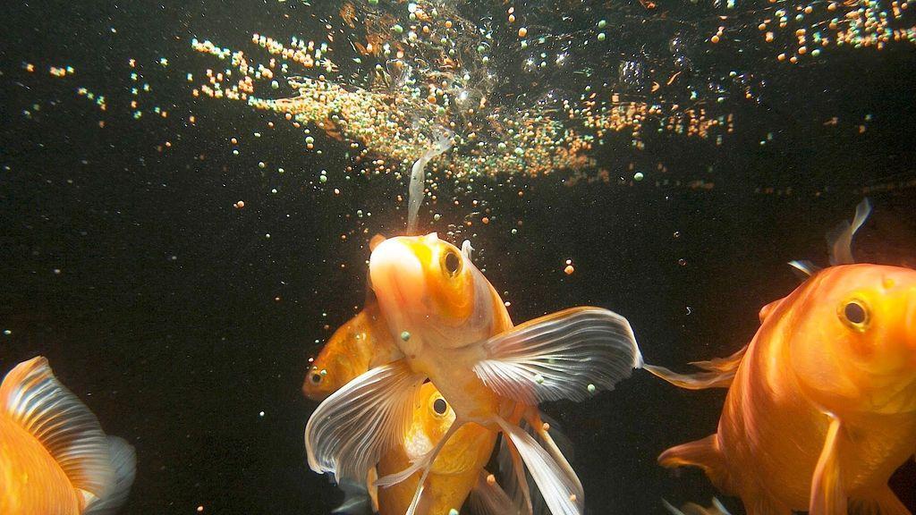 Золотые рыбки могут питаться всеми видами кормов