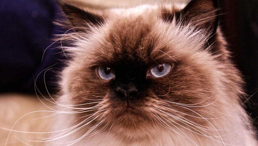 Недостатки гималайско кошки