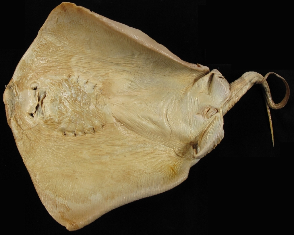 Форма тела хвостокола напоминает диск