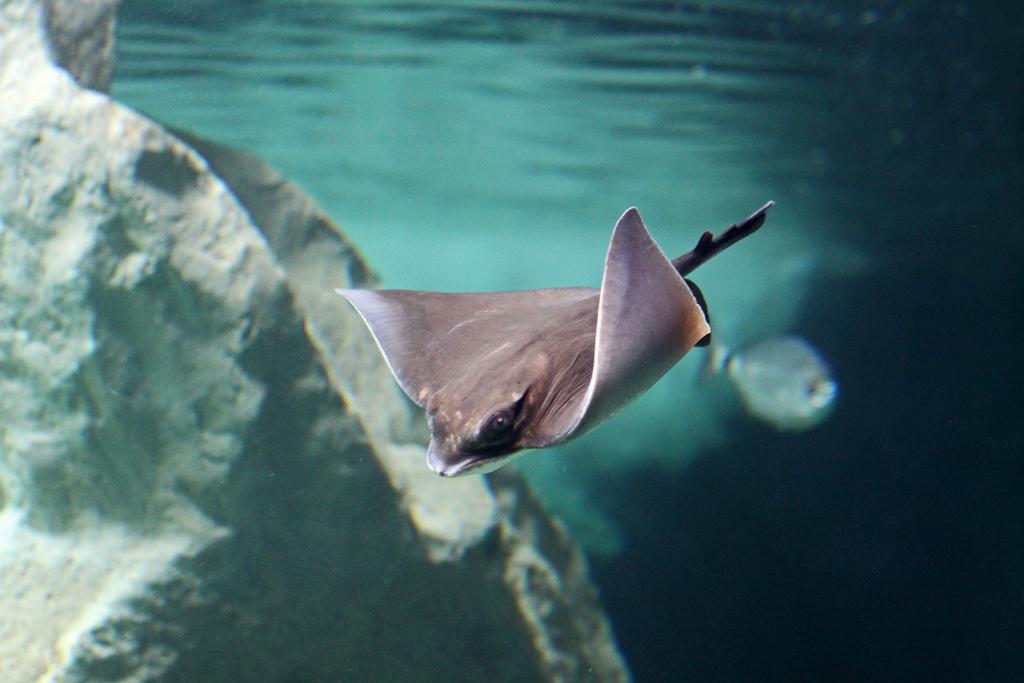 Содержать морского кота можно только в открытом море или очень крупном аквариуме