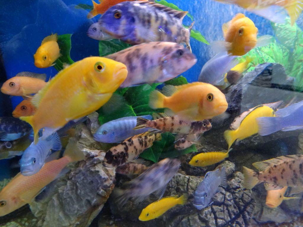 Лабиринтовые рыбки в аквариуме