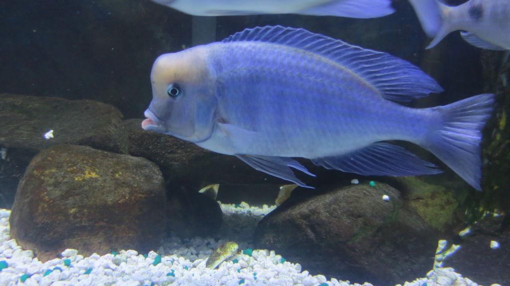 Правильное содержание аквариумной рыбки голубой дельфин