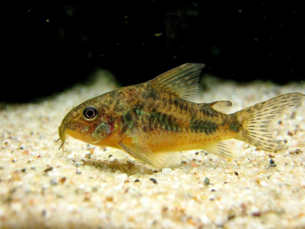 Правильный уход и содержание крапчатых сомиков в аквариуме