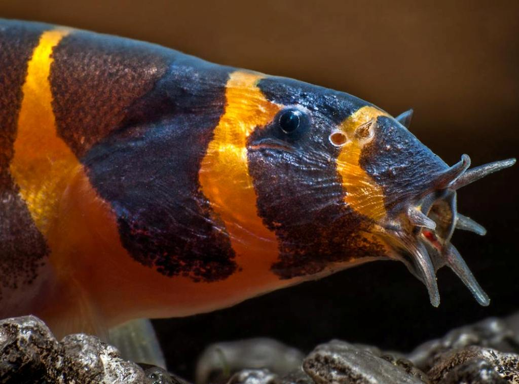 Усики помогают рыбке в поисках пищи