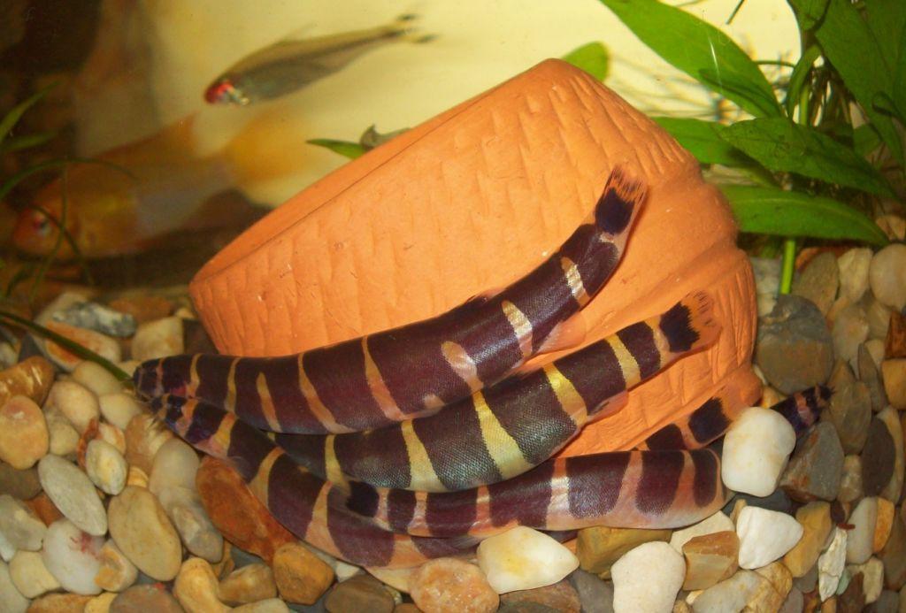 Если акантофтальмусов в аквариуме будет несколько, то они постоянно буду находиться в движении