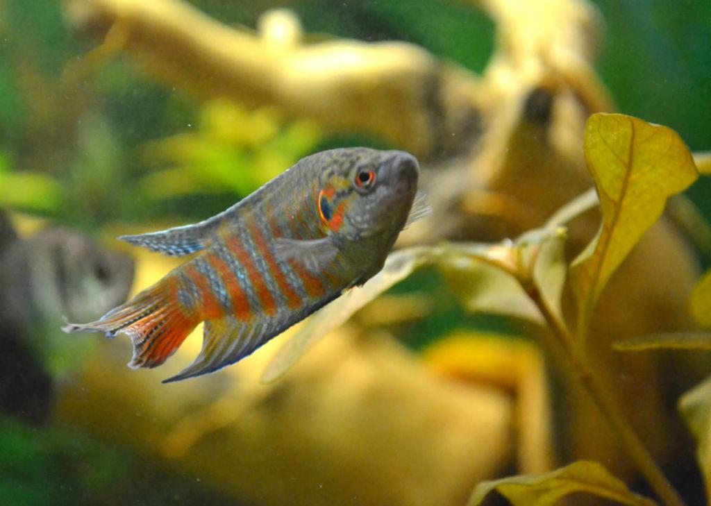Лабиринтовые рыбки разных окрасов