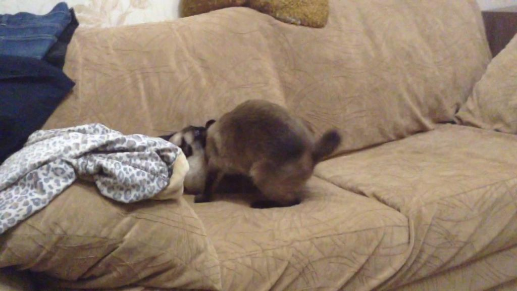 Меконги очень общительные и игривые кошки