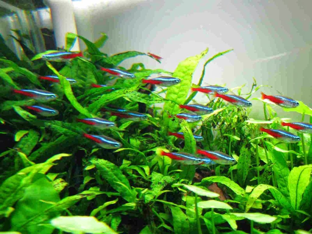 Совместимость неоновых рыбок