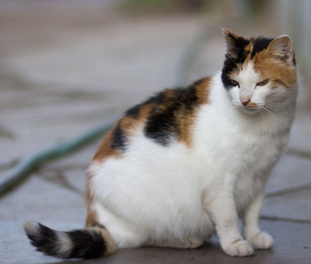 Вакцину нельзя вводить кошкам на последнем месяце беременности