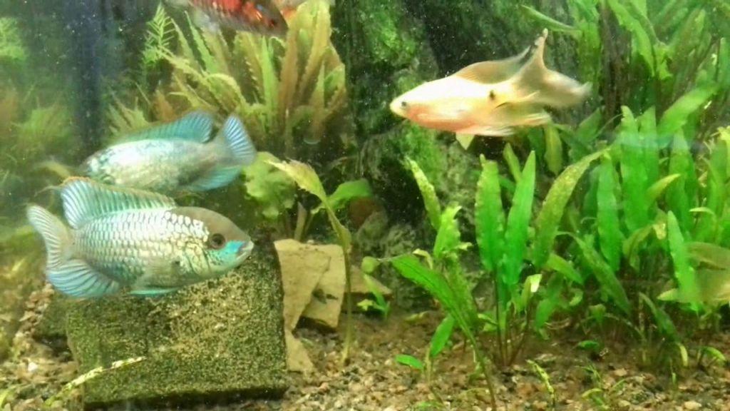 Наннакара неоновая довольно мирная рыбка