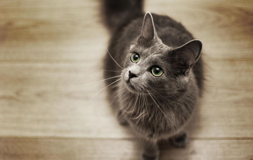 Описание красивейшей породы кошек нибелунг