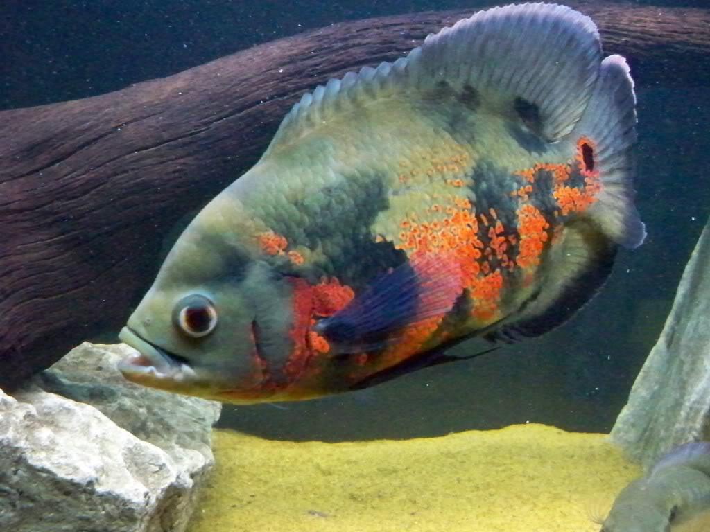 Рыбка растет очень быстро, на одну особь нужно около 400 литров объема аквариума