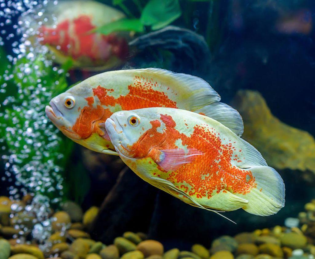 Оскар является хищником, желательно заводить его парой отдельно от других рыб