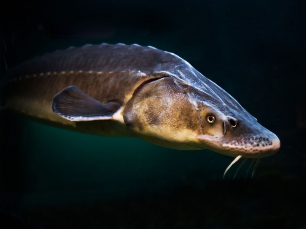5 видов рыб семейства осетровых с названиями