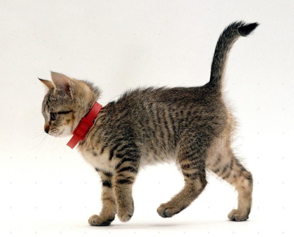 Кот с ошейником от блох на шее