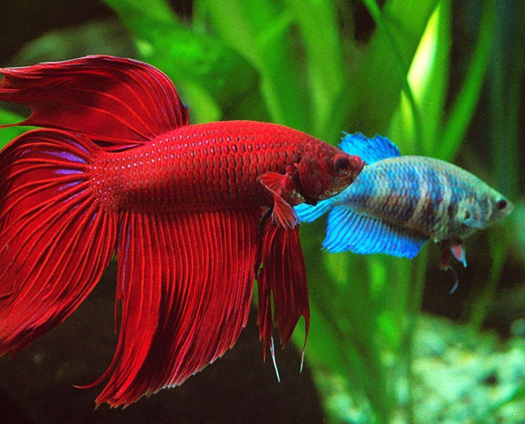 Примерно 1-2 месяца купленные рыбки привыкают к среде обитания