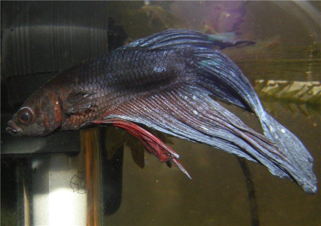 При костиозе рыбка бледнеет и плавники слипаются