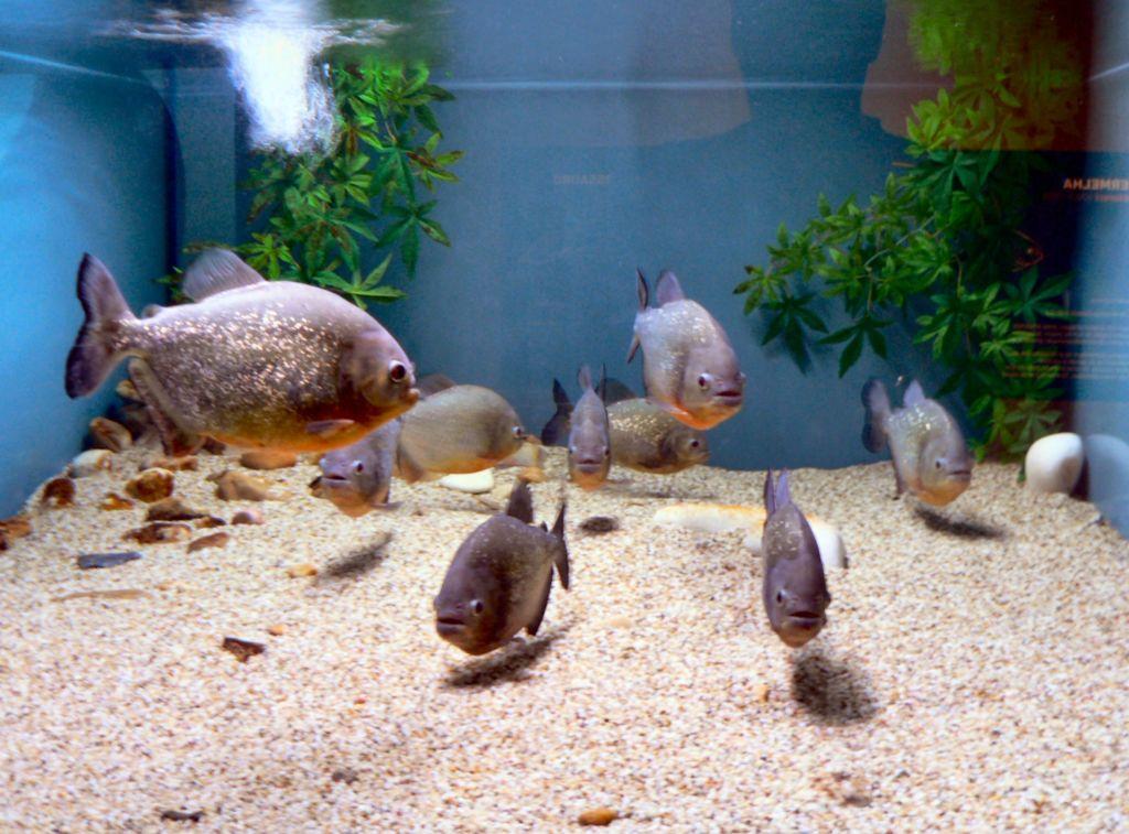 Пираньи в аквариуме с другими видами рыб