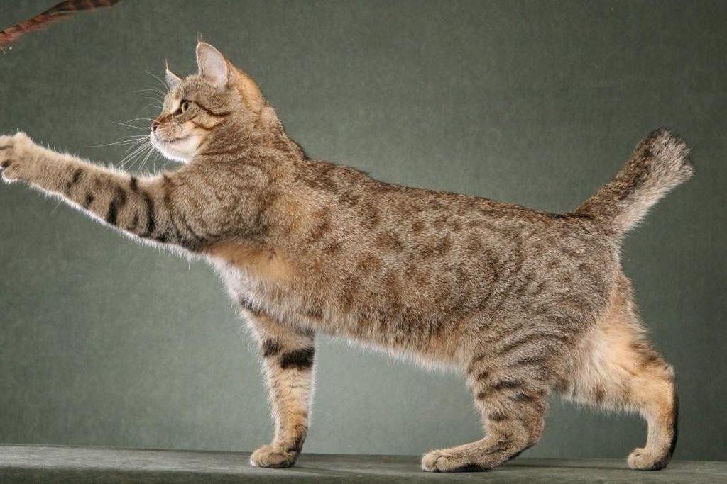 Кошка породы пиксибоб