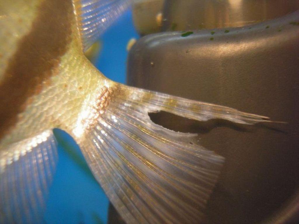 Плавниковая гниль у рыбок