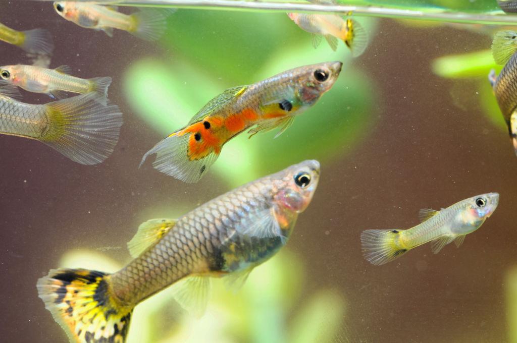 Как размножаются рыбки гуппи в общем аквариуме