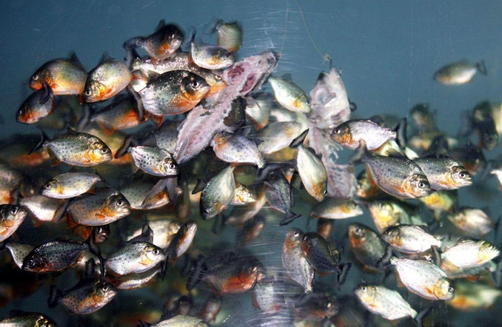Пираньи в аквариуме едят рыбу