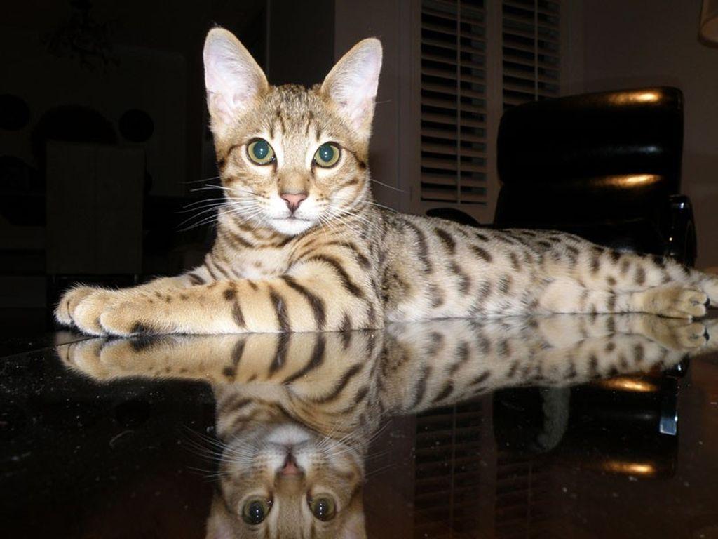 Подробное описание породы кошек саванна